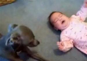 赤ちゃんの泣き声に反応する犬