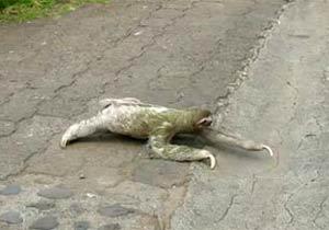 道路を横断するナマケモノ
