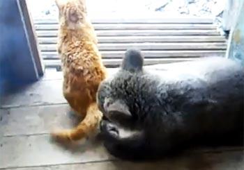 熊のペロペロに猫無関心
