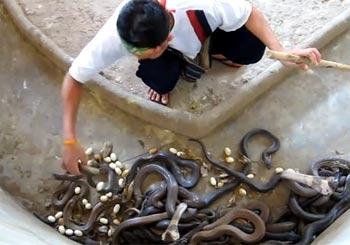 コブラの巣を清掃する男