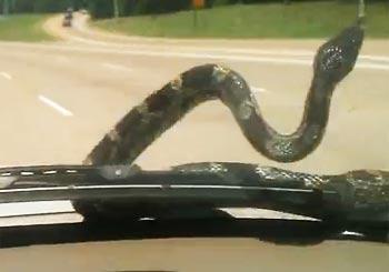 フロントガラスにヘビが!