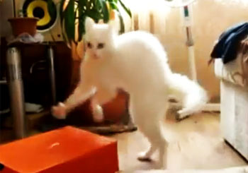 びっくりした姿勢であるく猫