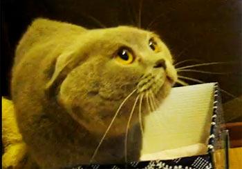 お経を唱える猫