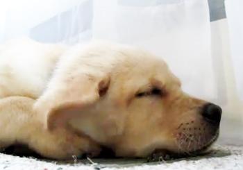 犬の耳がふわふわパタパタ