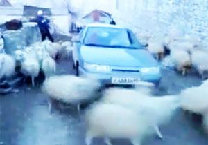羊台風の目になった車