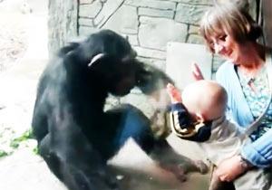 赤ちゃんにパンチするチンパンジー