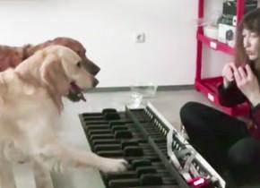 音階を理解する犬、オカリナの音にあわせて鍵盤を踏む