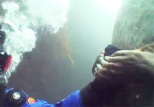ダイバーの手をギュッとするアザラシ