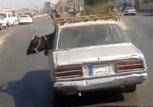 牛を乗せて走る車