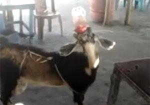 コーラを飲むヤギ