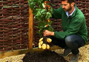 トマトとジャガイモを融合「トムテト」