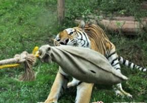 生きた鶏を噛ませてトラと綱引き
