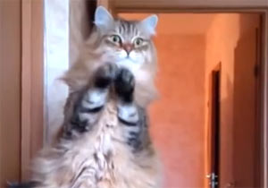 立ちあがって謎のおまじないをする猫