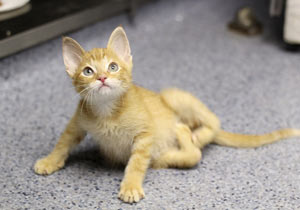 足がW字の子猫が治療をして回復