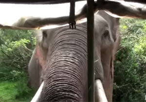ジープに襲い掛かる野生のゾウ