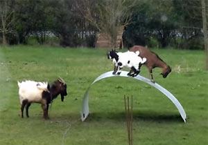 ビヨンビヨンした物体で遊ぶヤギ