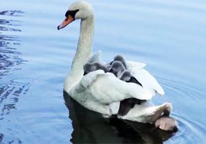 親白鳥の背中に乗る子供たち