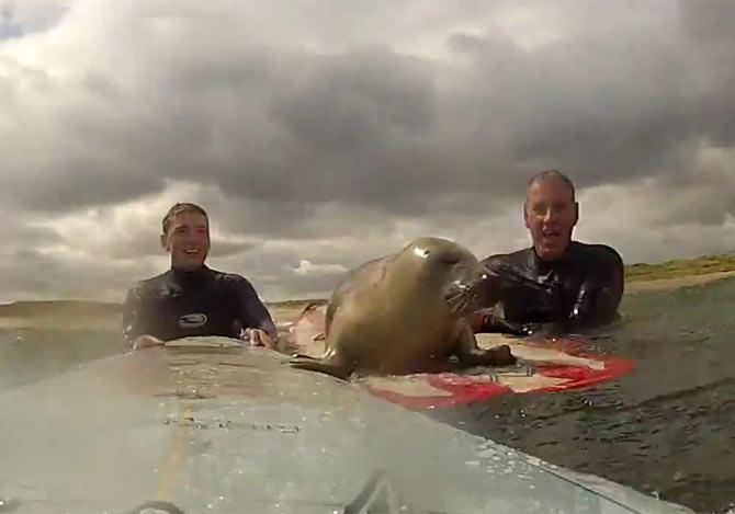 サーフィンに相乗りするアザラシ