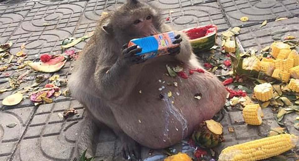 タイの肥満猿