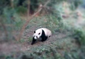 何がしたいかさっぱり分からない野生パンダ