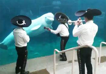 マリアッチを楽しむ白イルカ