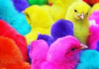 極彩色のヒヨコたち