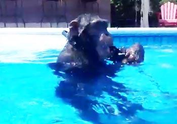 スキューバの練習をするチンパンジー
