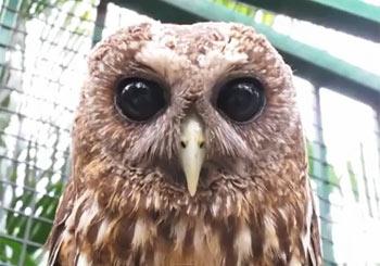瞳がキュートなスズメフクロウ