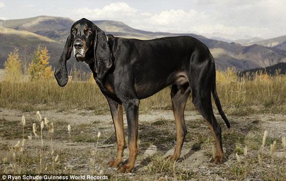 世界一の耳を持つ犬