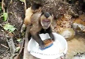 サルのタライ磨き