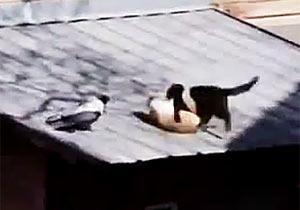猫にケンカをけしかけるカラス