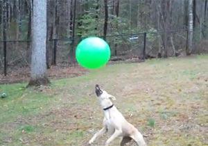 ヘッドリフティング上手な犬