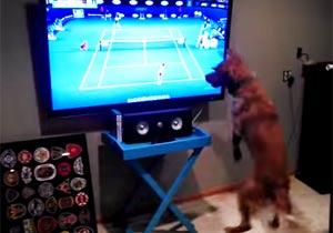 テニスのテレビ中継に興奮する犬