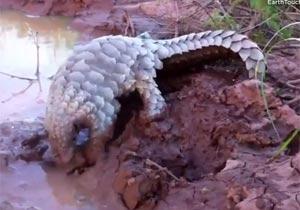 泥の中の珍獣センザンコウ