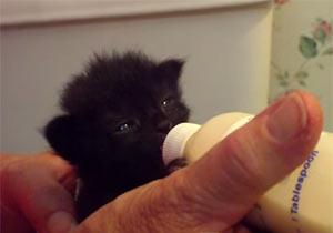 耳をピクピクさせてミルクを飲む子猫
