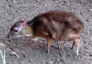 ミニサイズの鹿