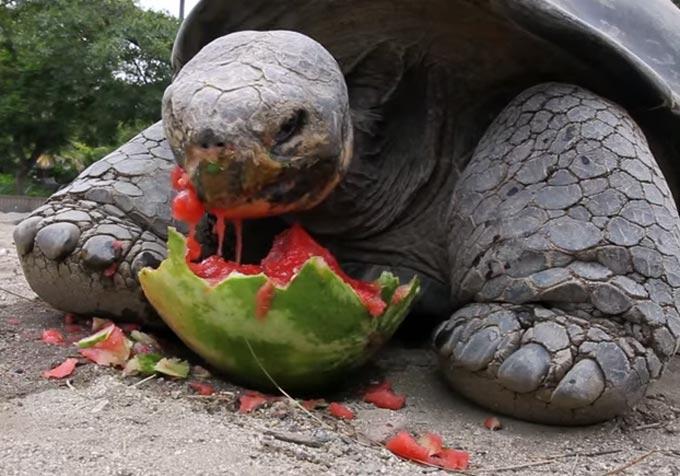 ガラパゴスゾウガメがスイカを食べるシーン