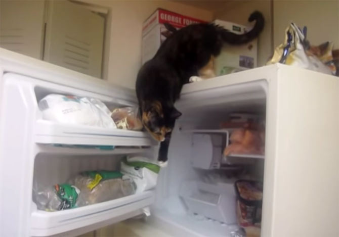 冷凍庫を開けて中を物色する猫
